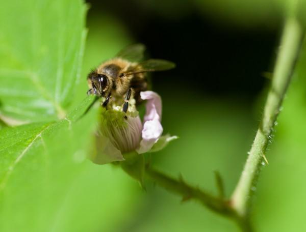 abeille.thumb.jpg.79b39c8c7b53a2a3a7b5abb65a055557.jpg