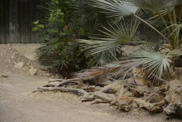 Parc_des_Felins_-_Chat_du_désert_.JPG