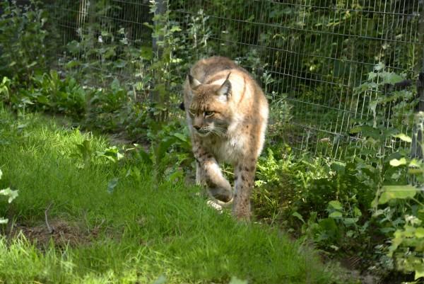 Parc_des_Felins_-_Lynx.JPG