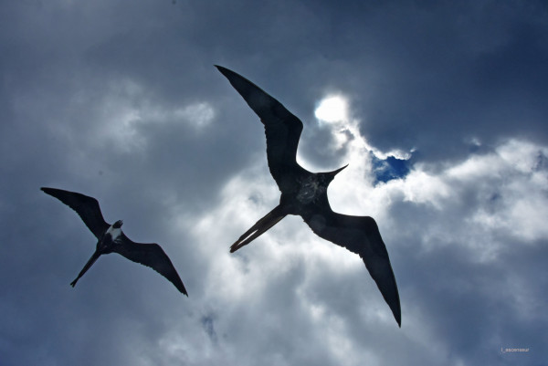 Galapagos, frégates, NIKON D7200, NIKKOR 18-200 VR2.jpg